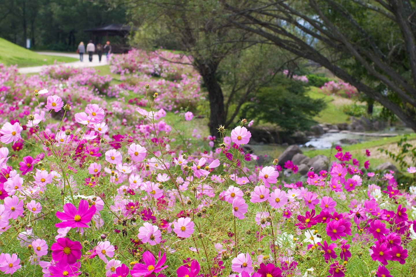 Autumn at Sanuki Mannou Park is filled with beautiful cosmos flowers