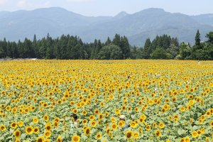 Sunflowers in Tsunan, Niigata Prefecture