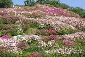 Tomisuyama Park is filled with azaleas in spring