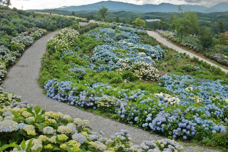 Part of the hydrangea hill at Jupia Land Hirata