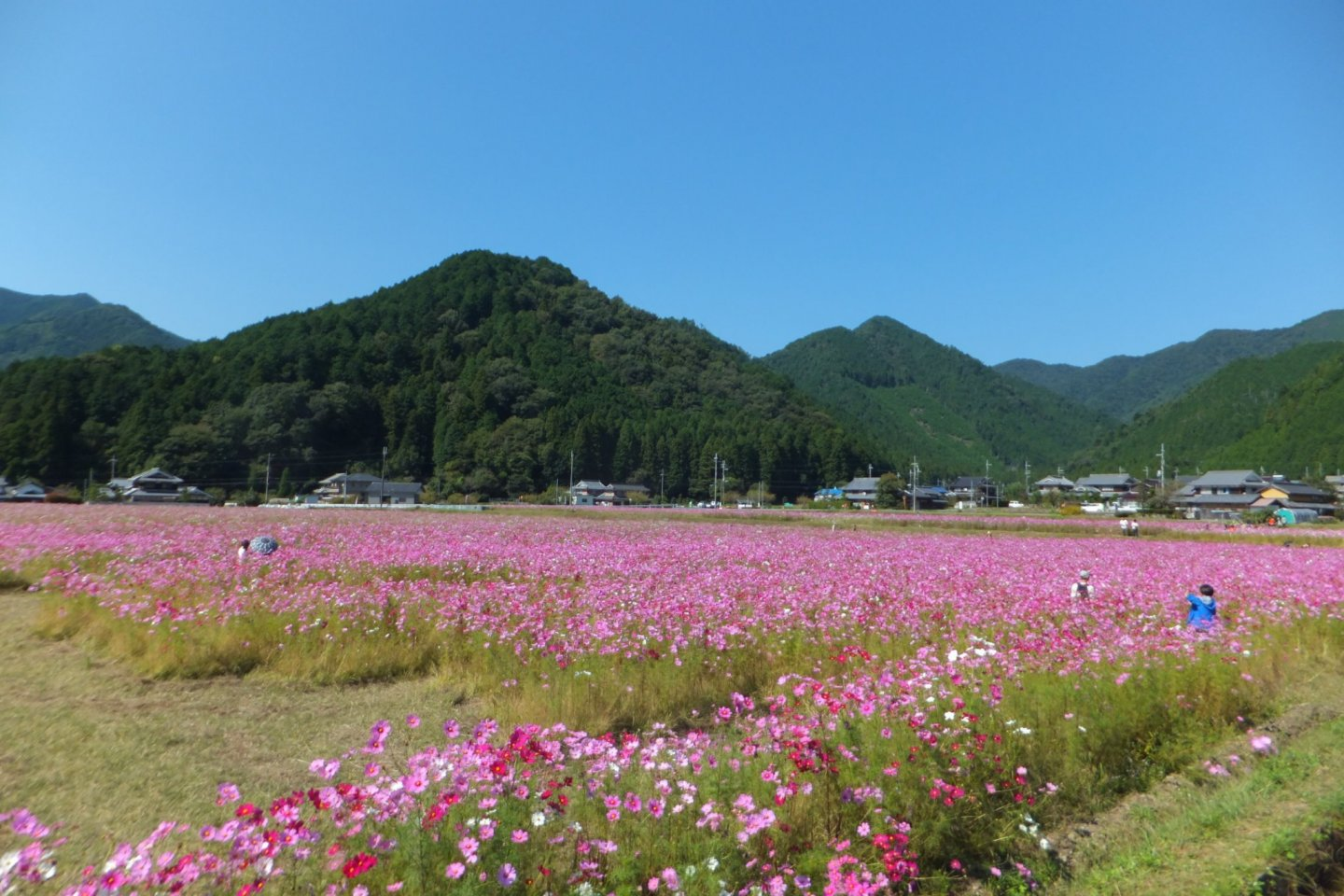 Colorful autumn cosmos flanked by mountains