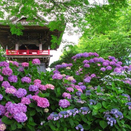 Hydrangea Season at Nogoji Temple