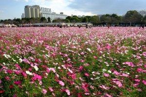 Colorful cosmos fields across from Fukuoka's Kirin Beer Factory