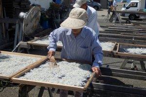 Near Koshigoe Station: A fresh catch of shirasu getting prepared for local consumption