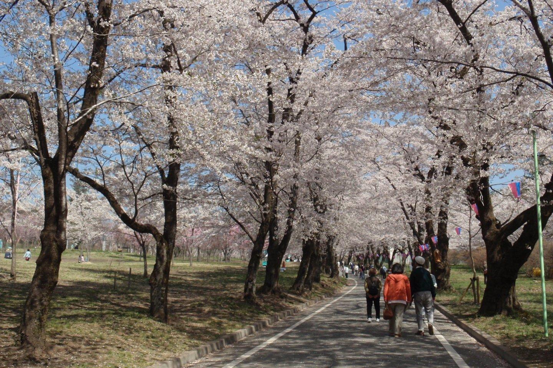 Plenty of cherry blossoms await!