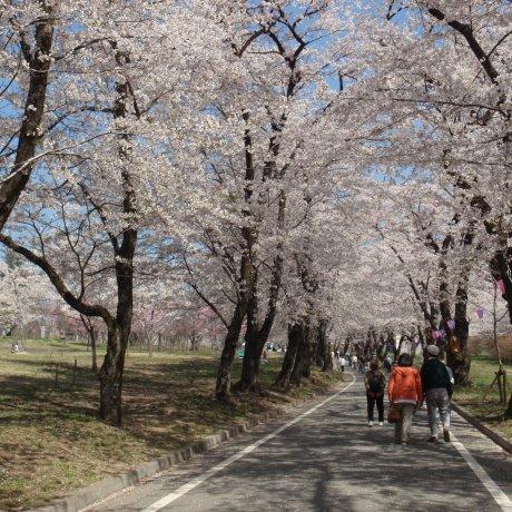 Akagi Nanmen Cherry Blossom Festival