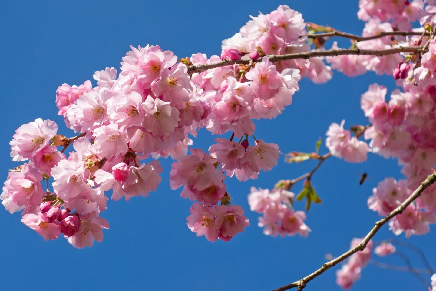 Double cherry blossoms in their trademark fluffy style