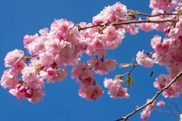 Shiroijuku Cherry Blossom Festival