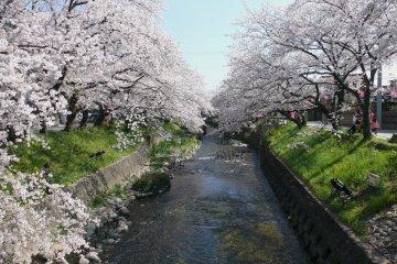 Iwakura Cherry Blossom Festival