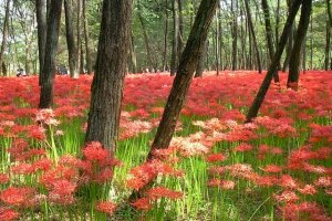 Spider lily paradise