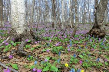 Dogtooth Violets at Totsushozan