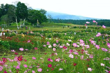 Cosmos Season at the Kurohime Plateau