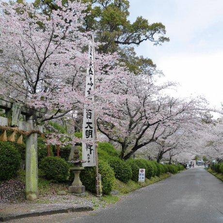 Sakura Season at Ogi Park