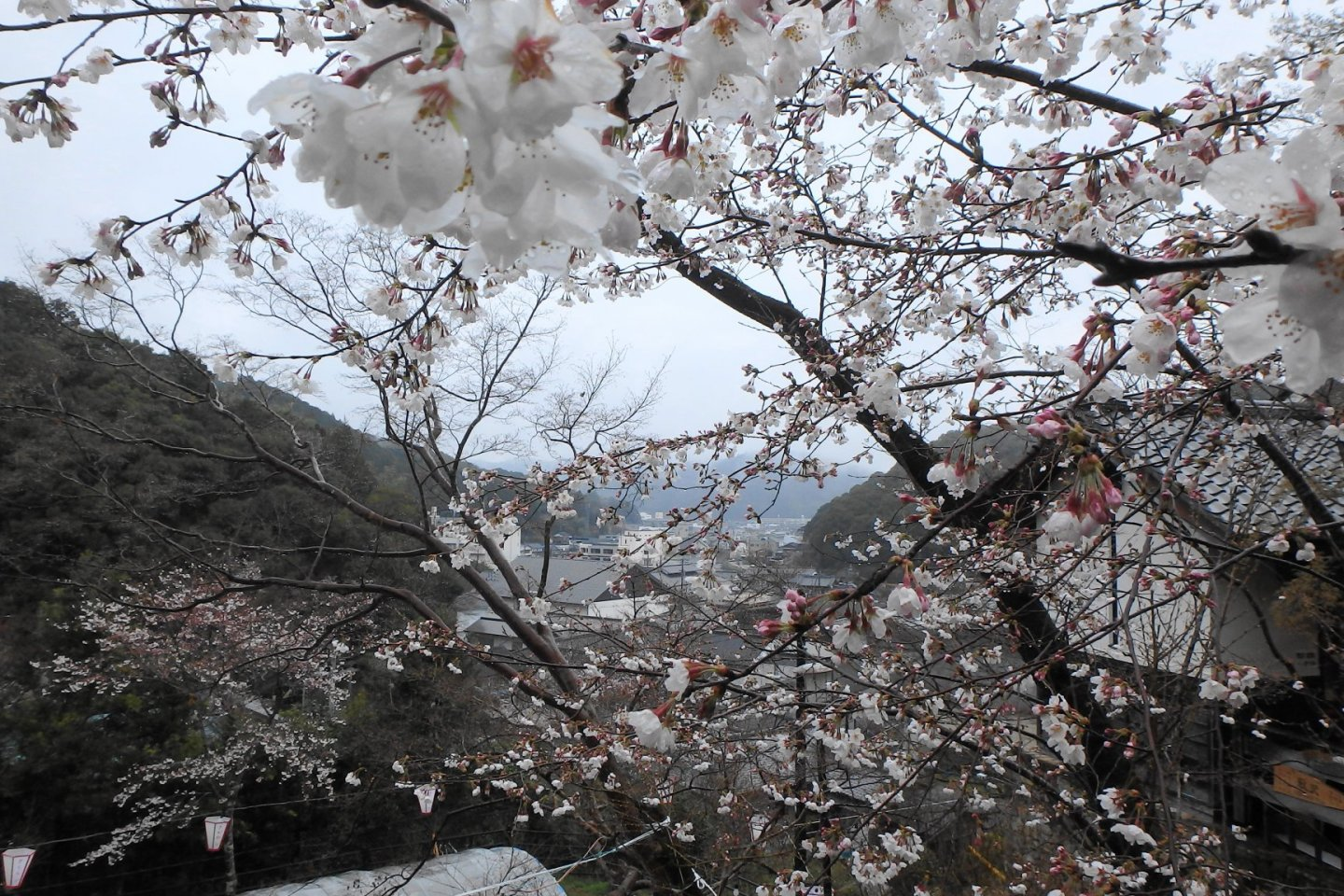 Makino Park is a delight in spring