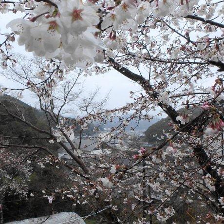 Sakura at Makino Park