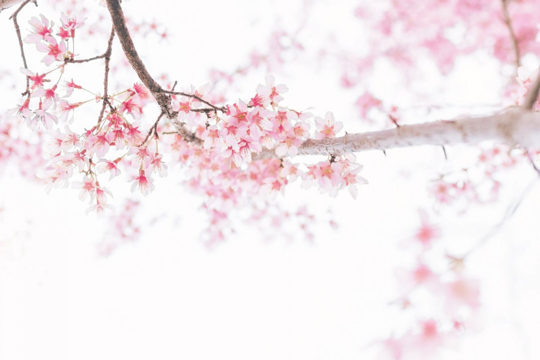 Sakura season is a delight across Shikoku!