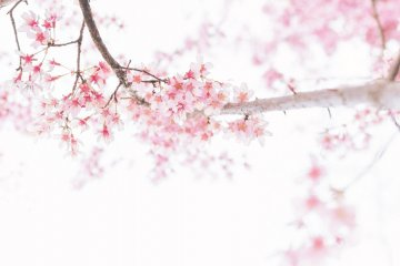 5 of Shikoku's Top Cherry Blossom Spots