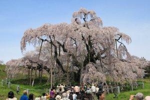 Springtime beauty in Fukushima