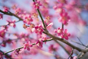 Plum blossoms are a highlight of early spring in Japan