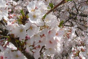 Cherry blossom season is a spring highlight at Ehime's Nanrakuen Garden