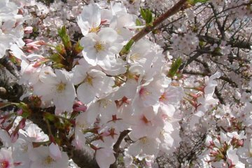 Nanrakuen Sotobori Sakura Festival