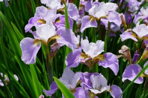 Irises abound at Nanrakuen Garden in Ehime