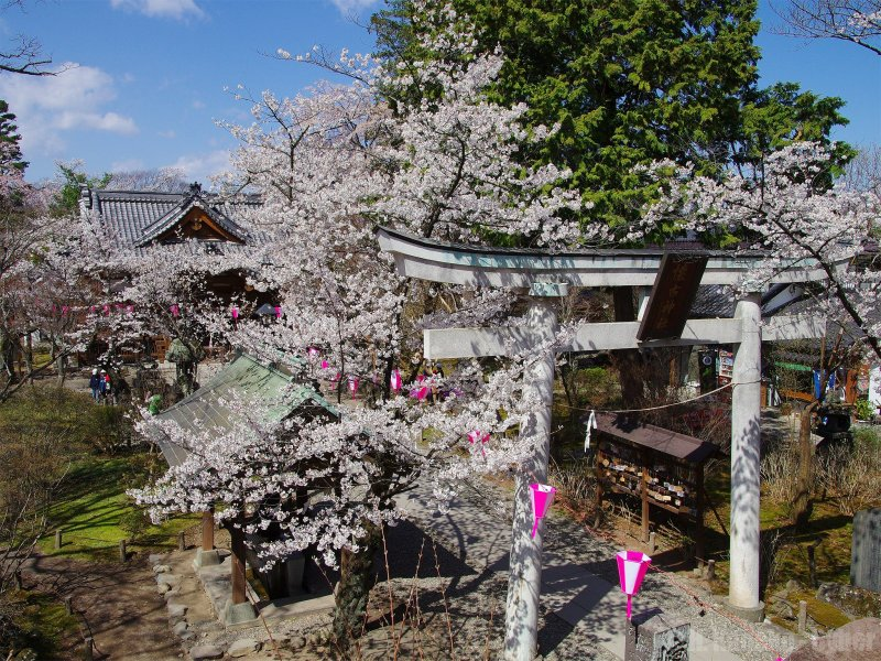 Some of the beautiful blossoms at Nagano's Komoro Castle Park