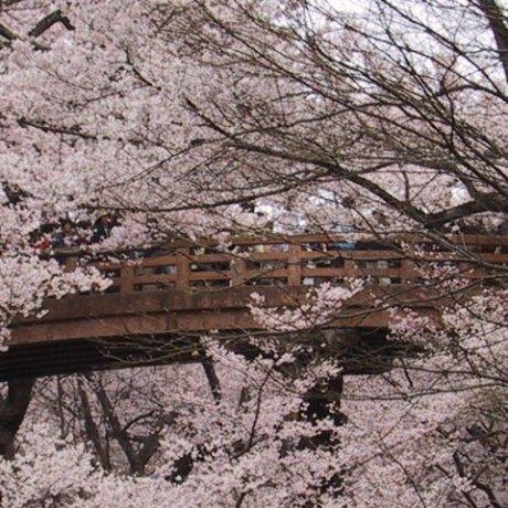 Takato Castle Park Sakura Festival