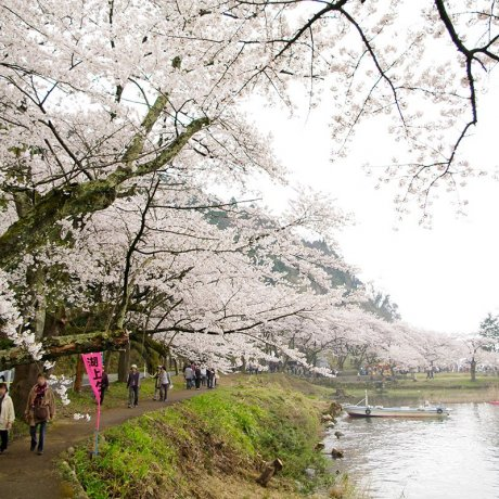 Sakura Season at Kaizu Ōsaki