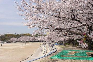 Sakura Season at Tsuruma Park
