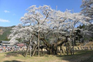 Sakura Season at Usuzumi Park