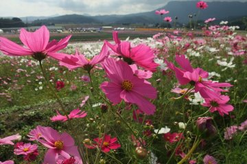 Cosmos Season at the Sanko Cosmos Garden