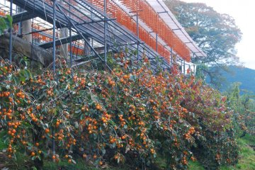 Fresh and dried persimmon are to be seen all around.