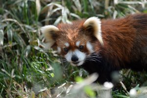 An adorable red panda