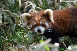 An adorable red panda