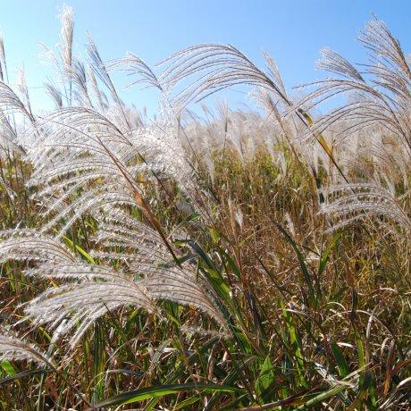 Oishi Highland Silver Grass