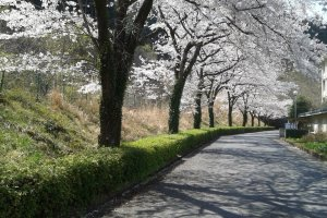 The cherry blossoms at the Musashidai Junior High, one of the stops along the orange route.