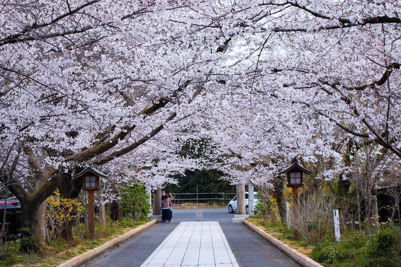 Somei Yoshino cherry blossoms at Koma shri