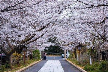 Koma Shrine Cherry Blossom Festival
