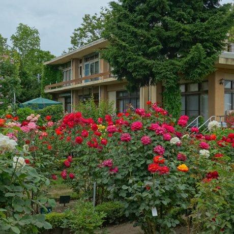 Odate Rose Festival
