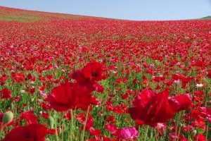 The number of poppies have to be seen to be believed