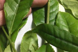 Thicker tea leaves
