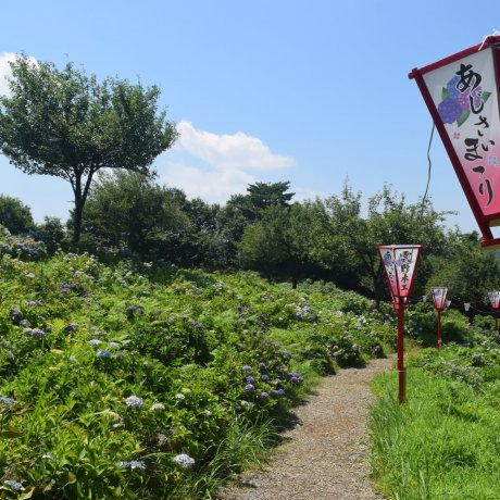 Tokamachi Ajisai Park Hydrangea Festival