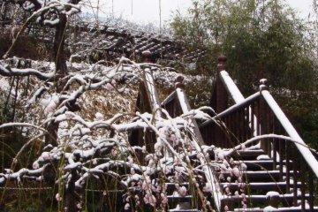 Plum Blossoms of Shirakawa