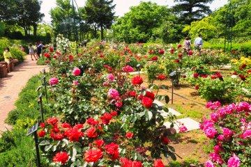 Yokohama Children's Botanical Park rose garden