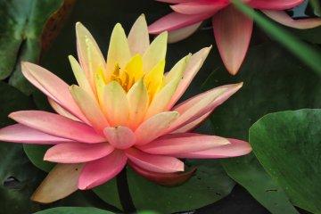 Odawara Flower Garden Water Lilies