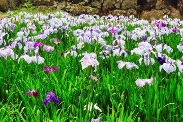 Castle Park Iris