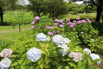 There are also some hydrangea in bloom.