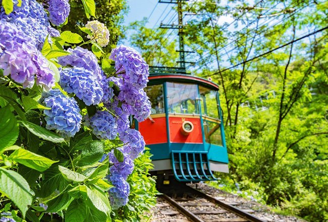 The Rokko Cable Line route is filled with around 2000 hydrangeas to enjoy