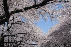Великолепные сакуры в парке Уэно